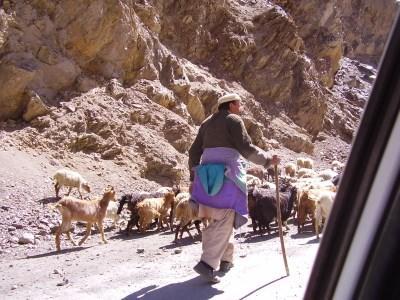 Shepherd 2 primary.jpg